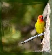 Male Saffron Finch in the Sierra