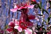 Flowering New Zealand Ice Tea