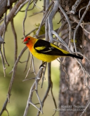Male Saffron Finch