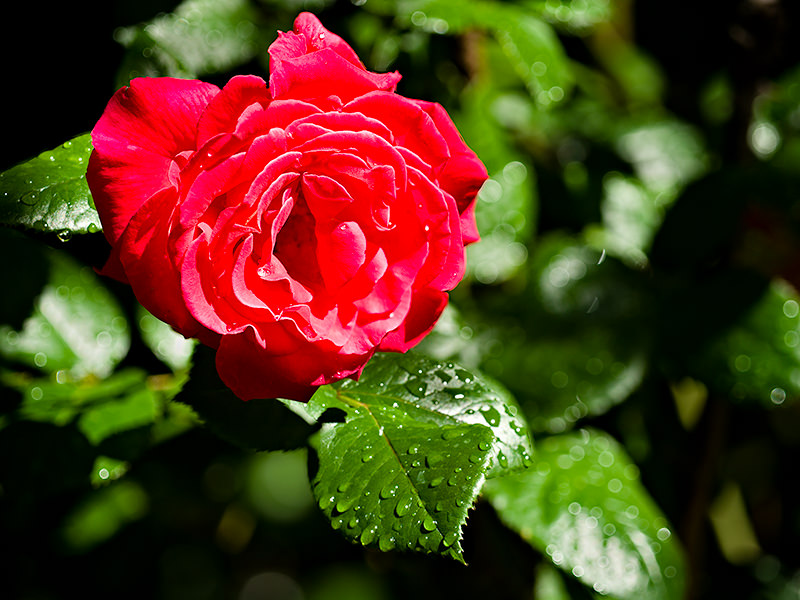Red Rose - A rose by any other name